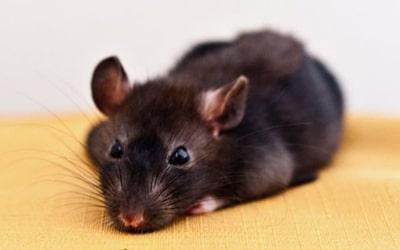 Сонник миші і криси