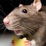 Сонник щур