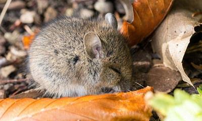 Сонник миші