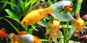 fe3e7aa0fd0289 Сонник акваріумні рибки, до чого сниться акваріумні рибки уві сні